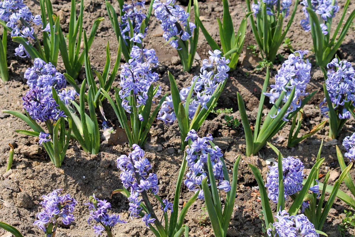 Гиацинт восточный сорт 'Bismarck' (Бисмарк). Общий вид цветущих растений