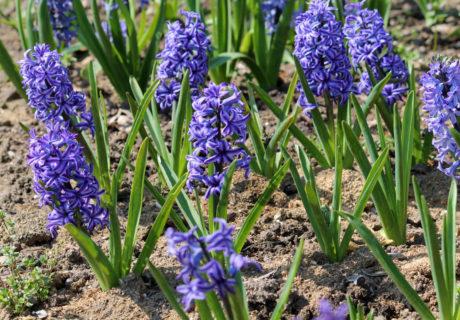 Гиацинт восточный сорт 'Blue Jacket' (Блю Джэкет)