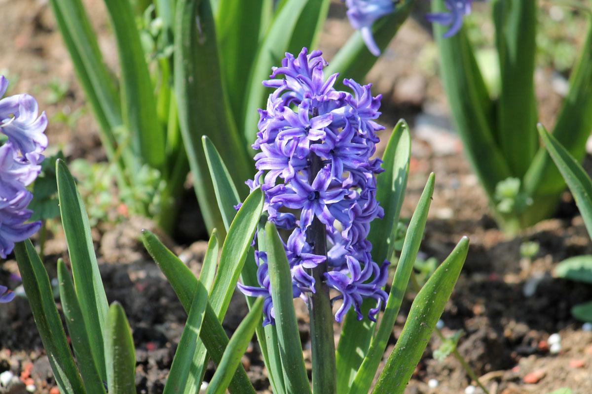 Гиацинт восточный сорт 'Blue Jacket' (Блю Джэкет). Общий вид цветущего растения