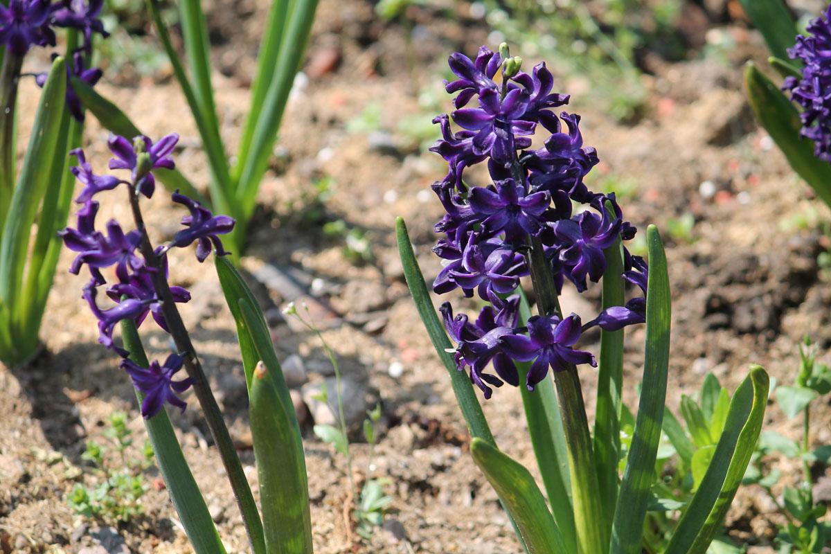 Гиацинт восточный сорт 'Blue Magic' (Блю Мэджик). Общий вид цветущих растений