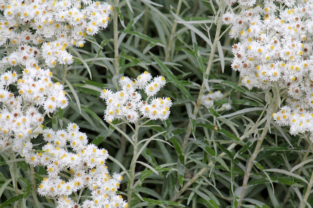 Густые щитковидные соцветия анафалиса жемчужного