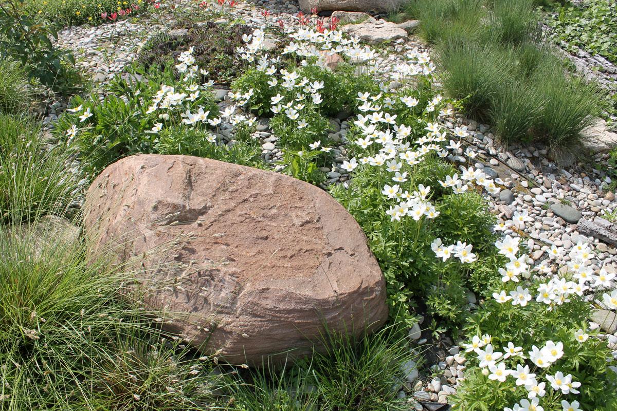 Анемона лесная или ветреница лесная (Anemone sylvestris)