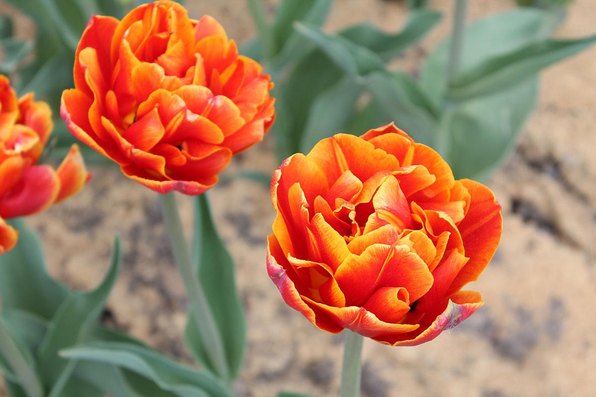 Тюльпан сорта 'Crossfire'