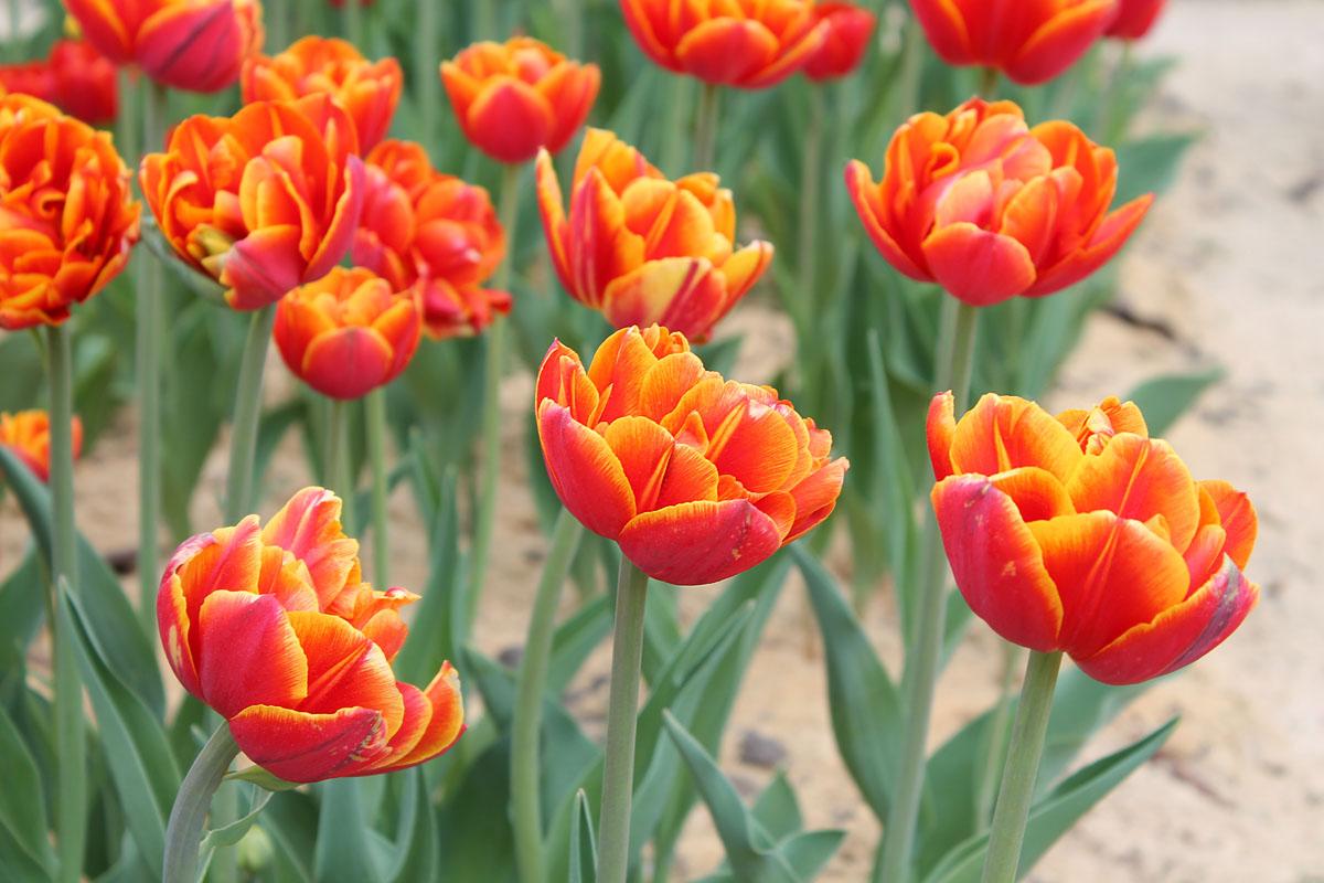 Тюльпаны сорта 'Crossfire'