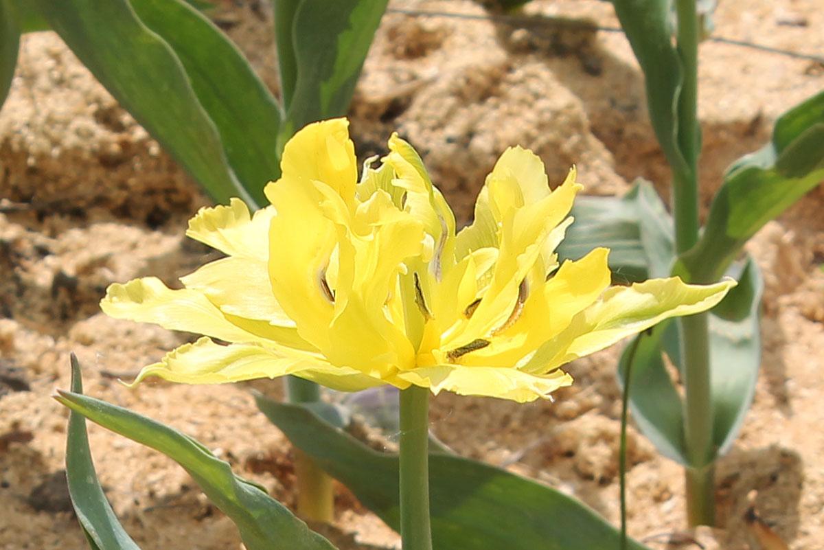 Тюльпан сорта 'Monte Carlo' из коллекции тюльпанов Центрального ботанического сада НАН Беларуси; 10.V.2016