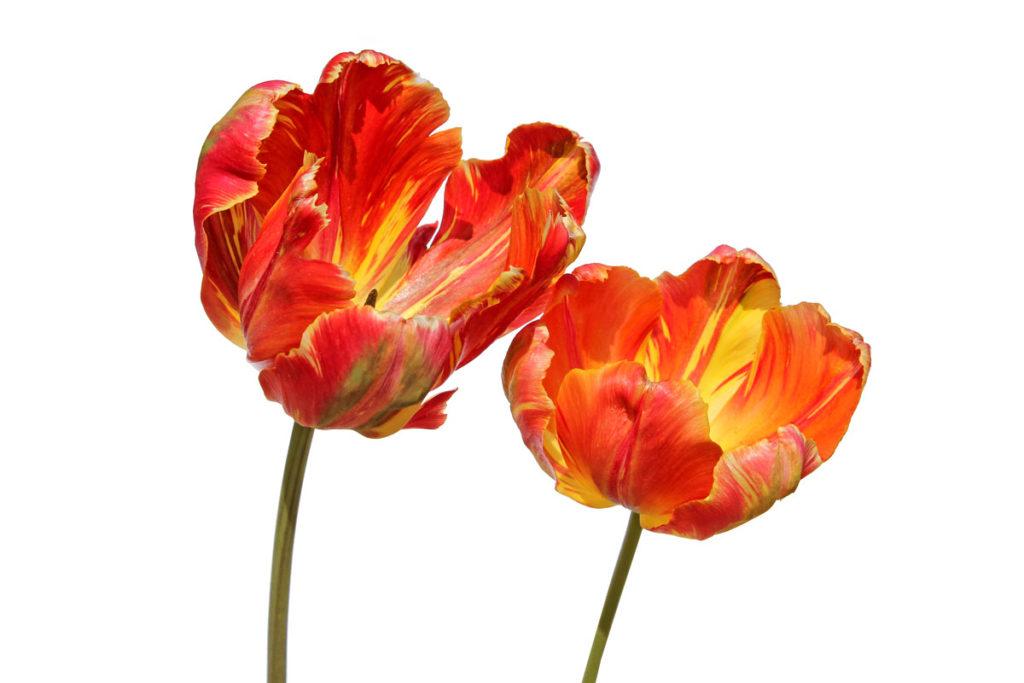 Тюльпаны сорта 'Professor Röntgen' из коллекции Центрального ботанического сада НАН Беларуси; 21.V.2016