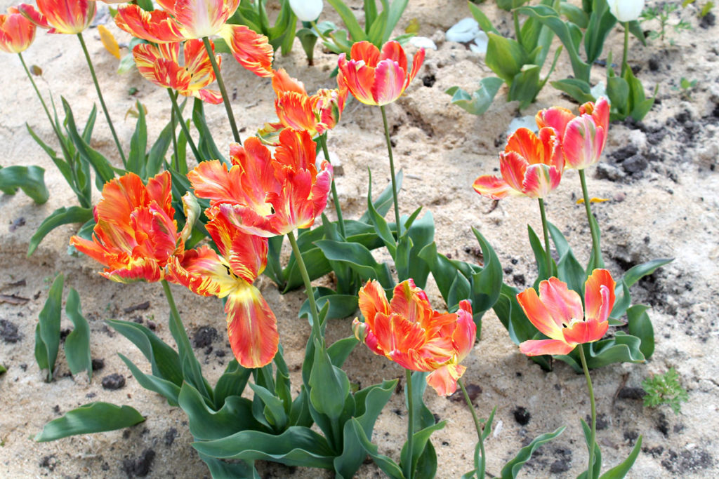 Тюльпаны сорта Professor Röntgen