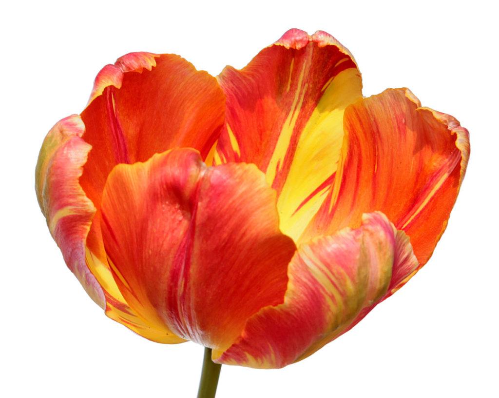Тюльпан сорта Professor Röntgen