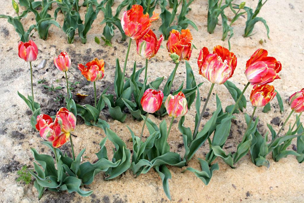 Группа тюльпанов сорта Professor Röntgen. Центральный ботанический сад НАН Беларуси; 19.V.2016