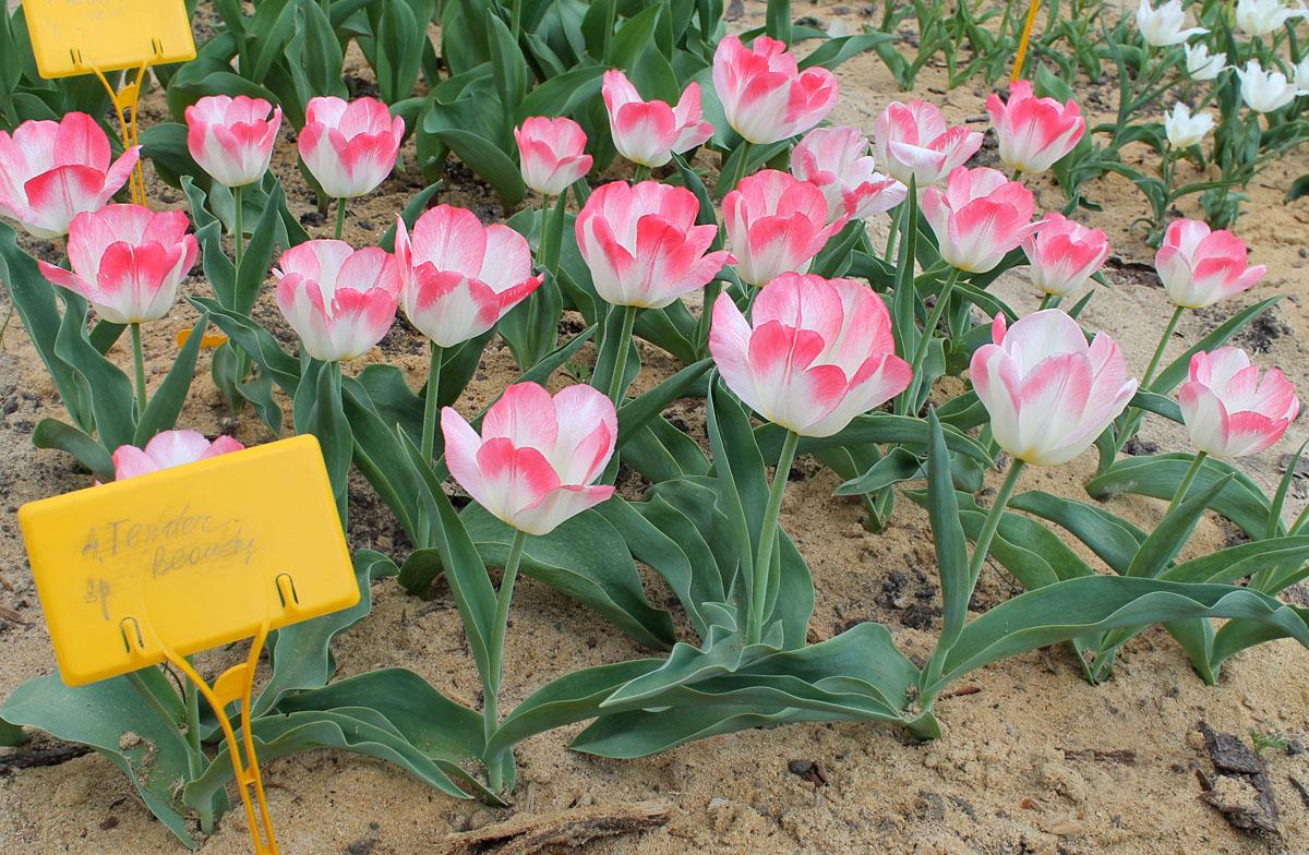 Тюльпаны сорта 'Tender Beauty' в коллекции Центрального ботанического сада НАН Беларуси