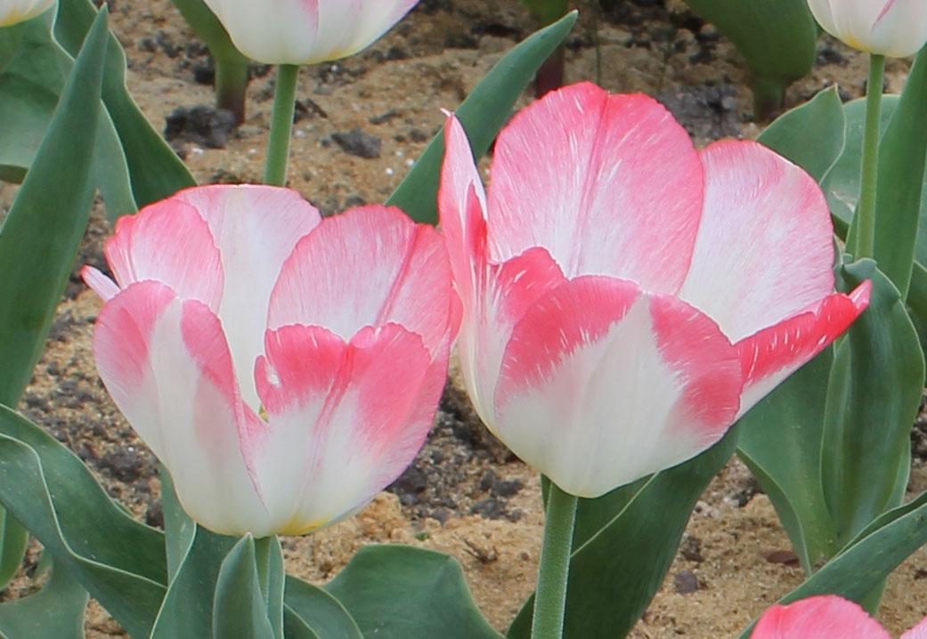 Проявление пестролепестности тюльпанов сорта 'Tender Beauty' в виде мелких белых штрихов на розовой кайме. Центральный ботанический сад НАН Беларуси