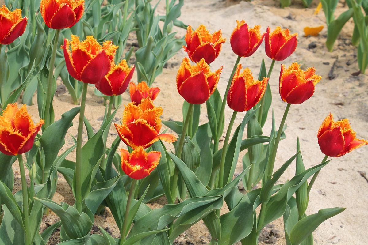 Группа тюльпанов сорта Fabio