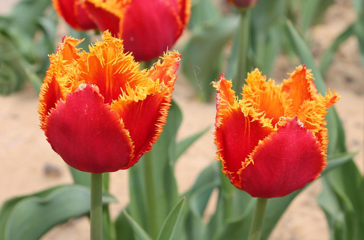 Желтая бахрома по краям листочков околоцветника тюльпанов сорта Fabio
