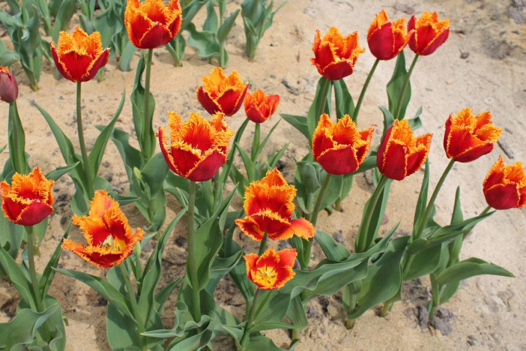 Тюльпаны сорта Fabio