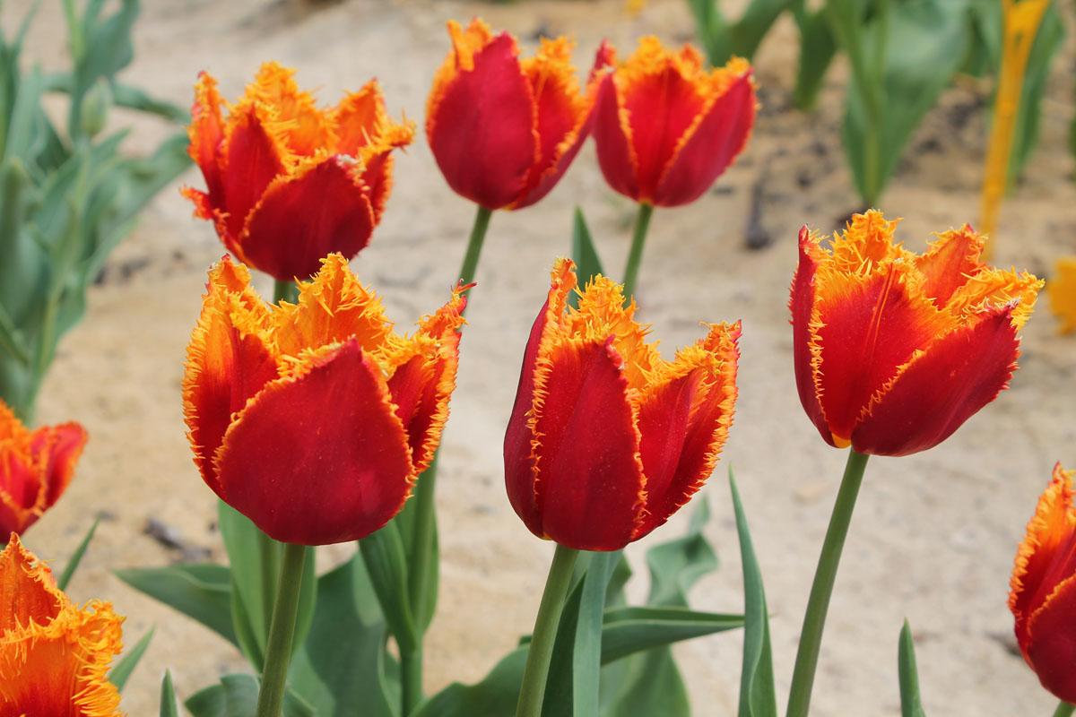 Цветки бокаловидной формы тюльпанов сорта 'Fabio' с прочными и жесткими листочками околоцветника