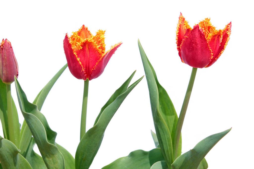 Тюльпаны сорта 'Fabio' из коллекции тюльпанов Центрального ботанического сада НАН Беларуси