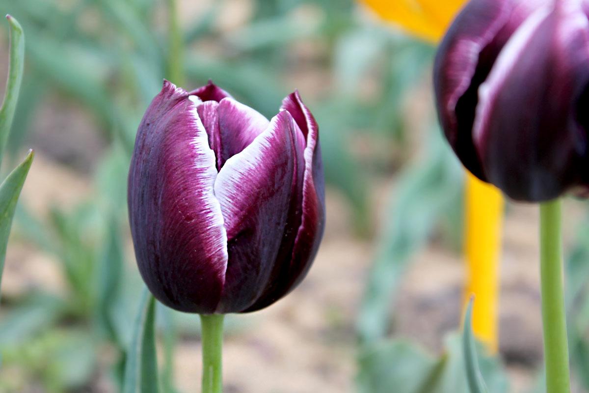 тюльпан сорта джекпот