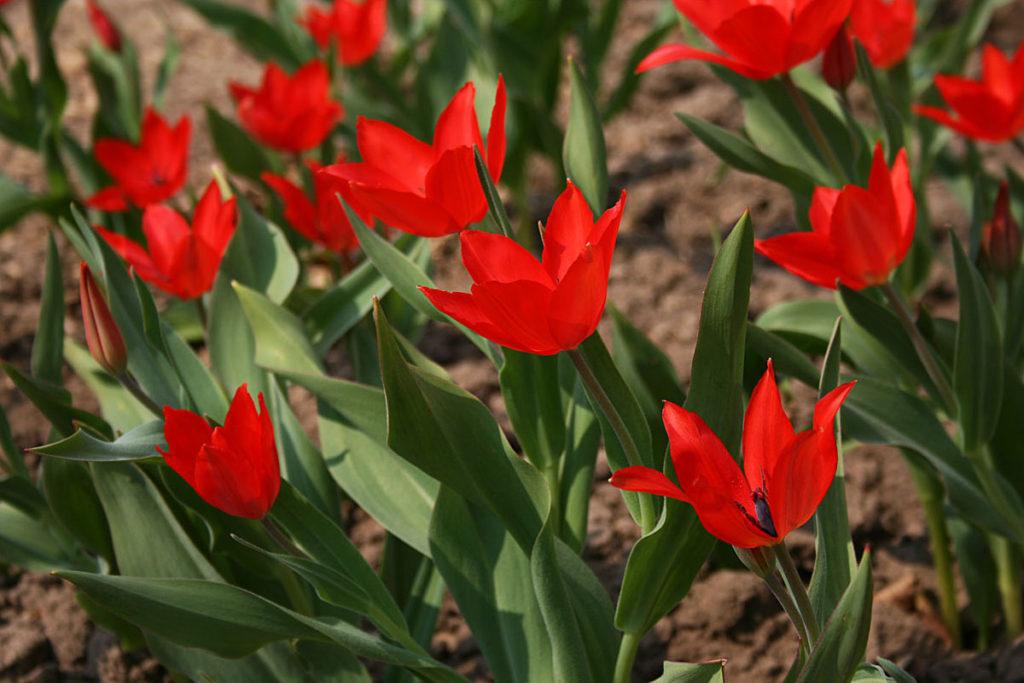 Тюльпан 'Zwanenburg Variety'