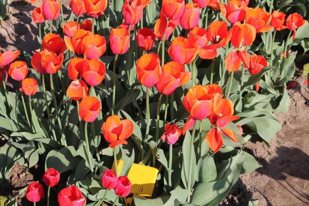Тюльпаны сорта Ad Rem