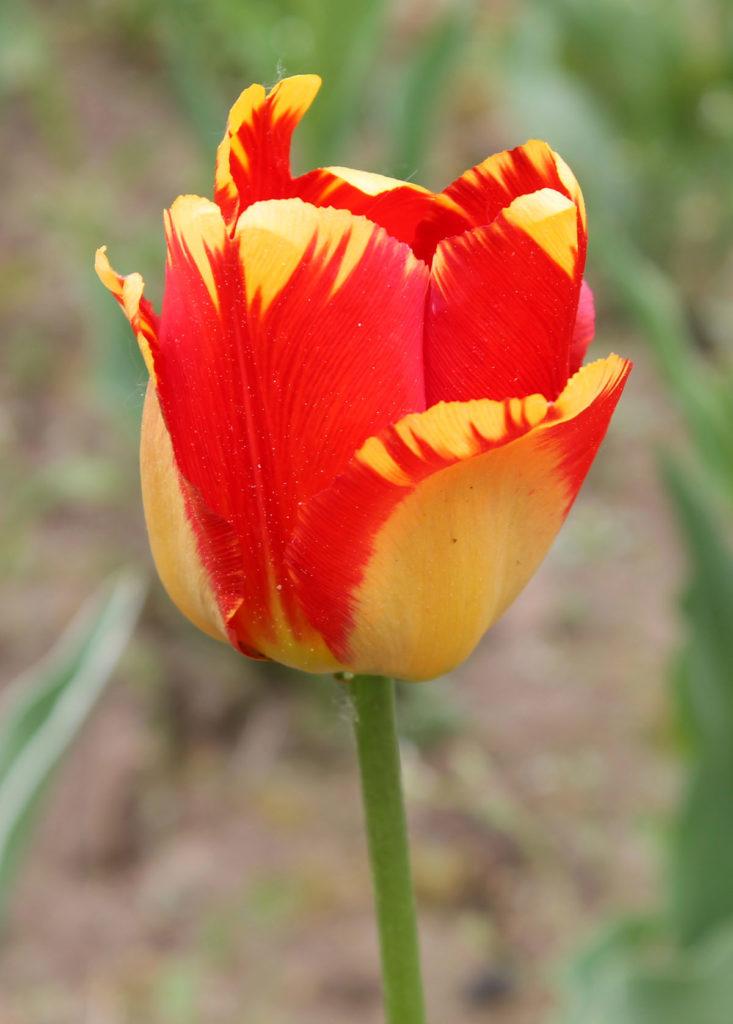 Тюльпан 'Banja Luka'. Внешняя сторона бокала