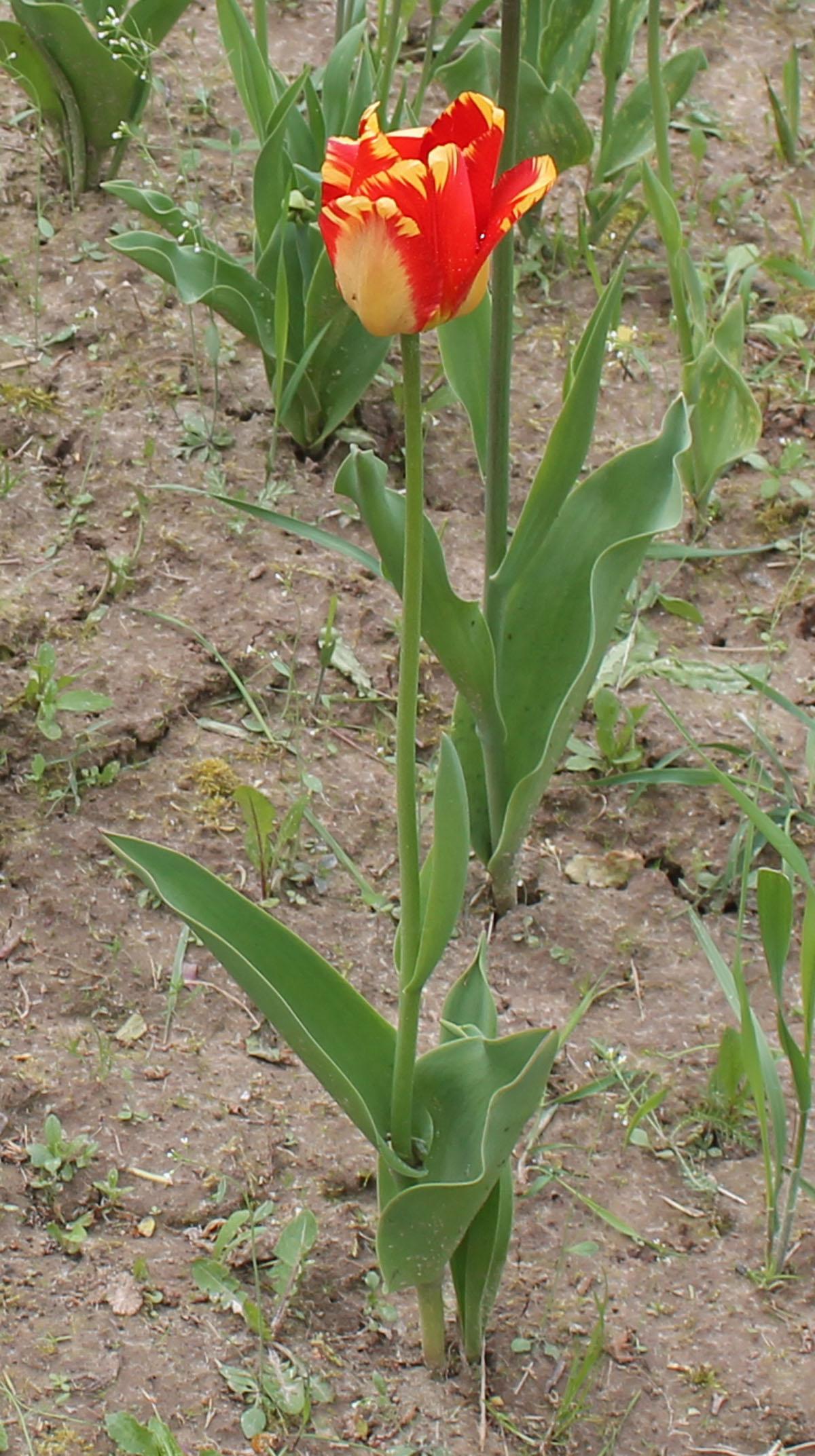 Тюльпан 'Banja Luka'. Общий вид цветущего растения