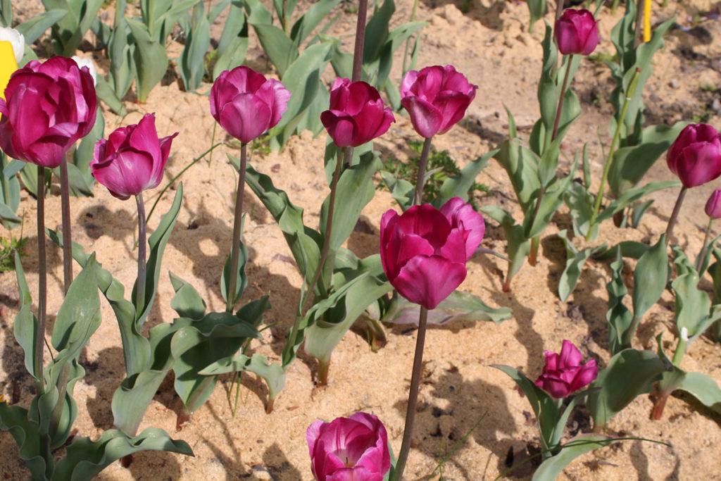 Тюльпаны 'Barcelona'