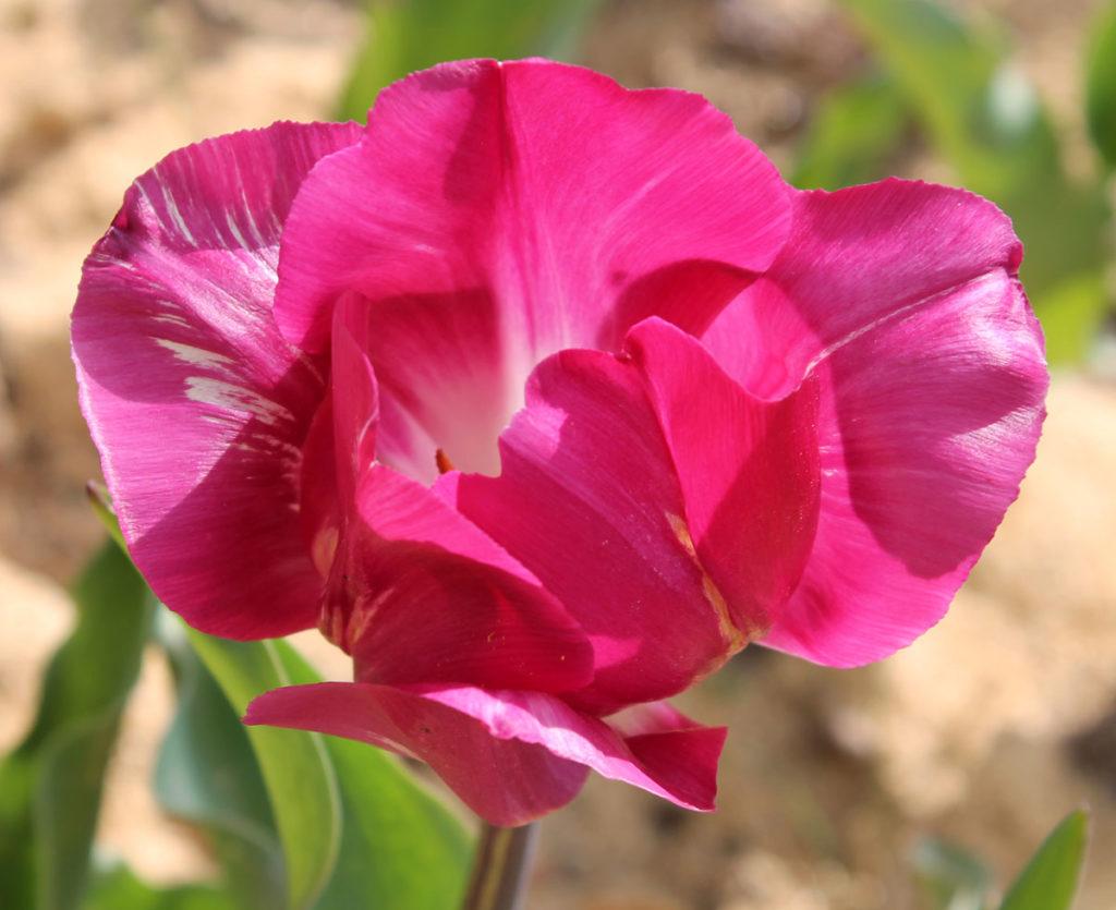 Тюльпан 'Barcelona' ('Барселона', Tulipa 'Barcelona'). Проявление вирусной пестролепестности.