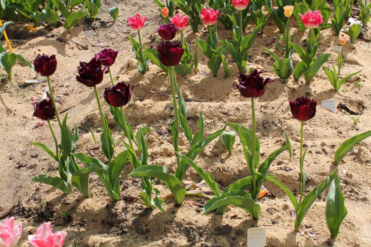 Тюльпаны 'Black Jewel'. Общий вид группы цветущих растений