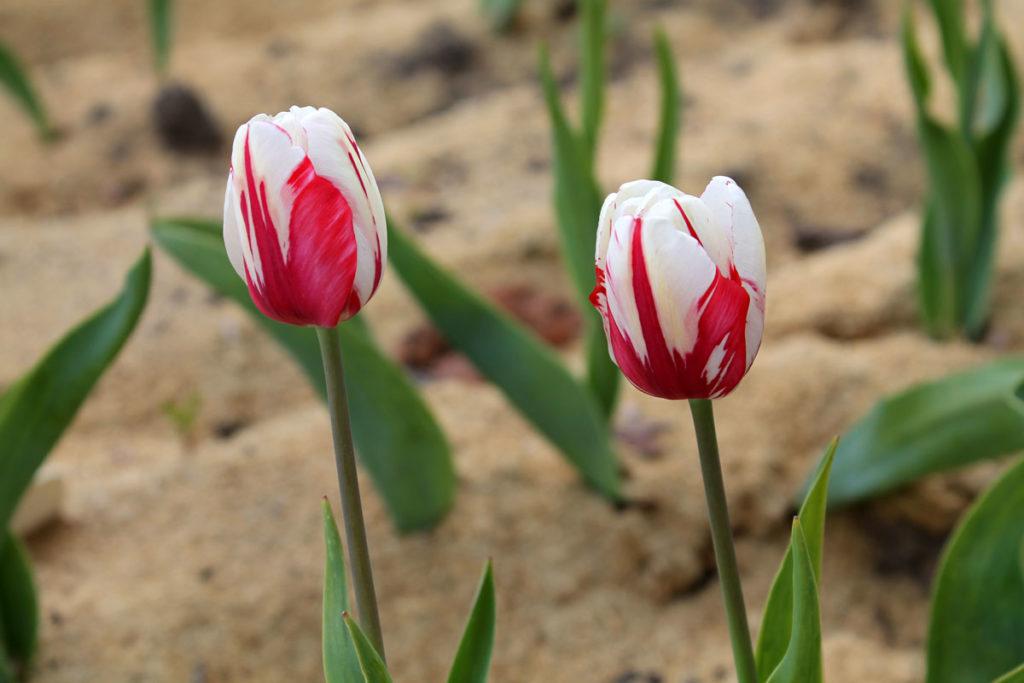 Тюльпан 'Cordell Hull' ('Корделл Халл', Tulipa 'Cordell Hull')