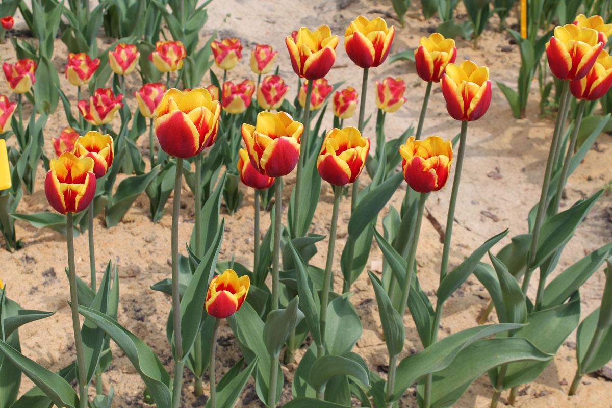 Тюльпаны 'Denmark'