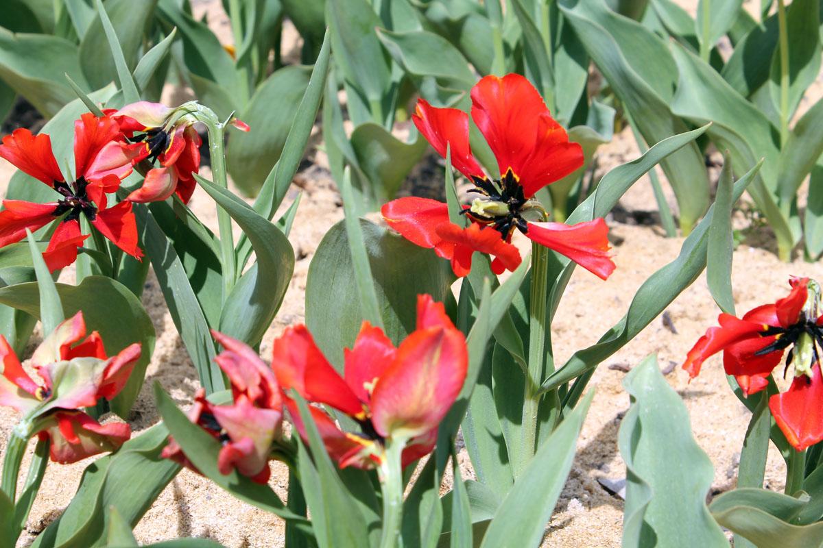 Тюльпаны 'Exotic Bird'. Общий вид группы цветущих растений