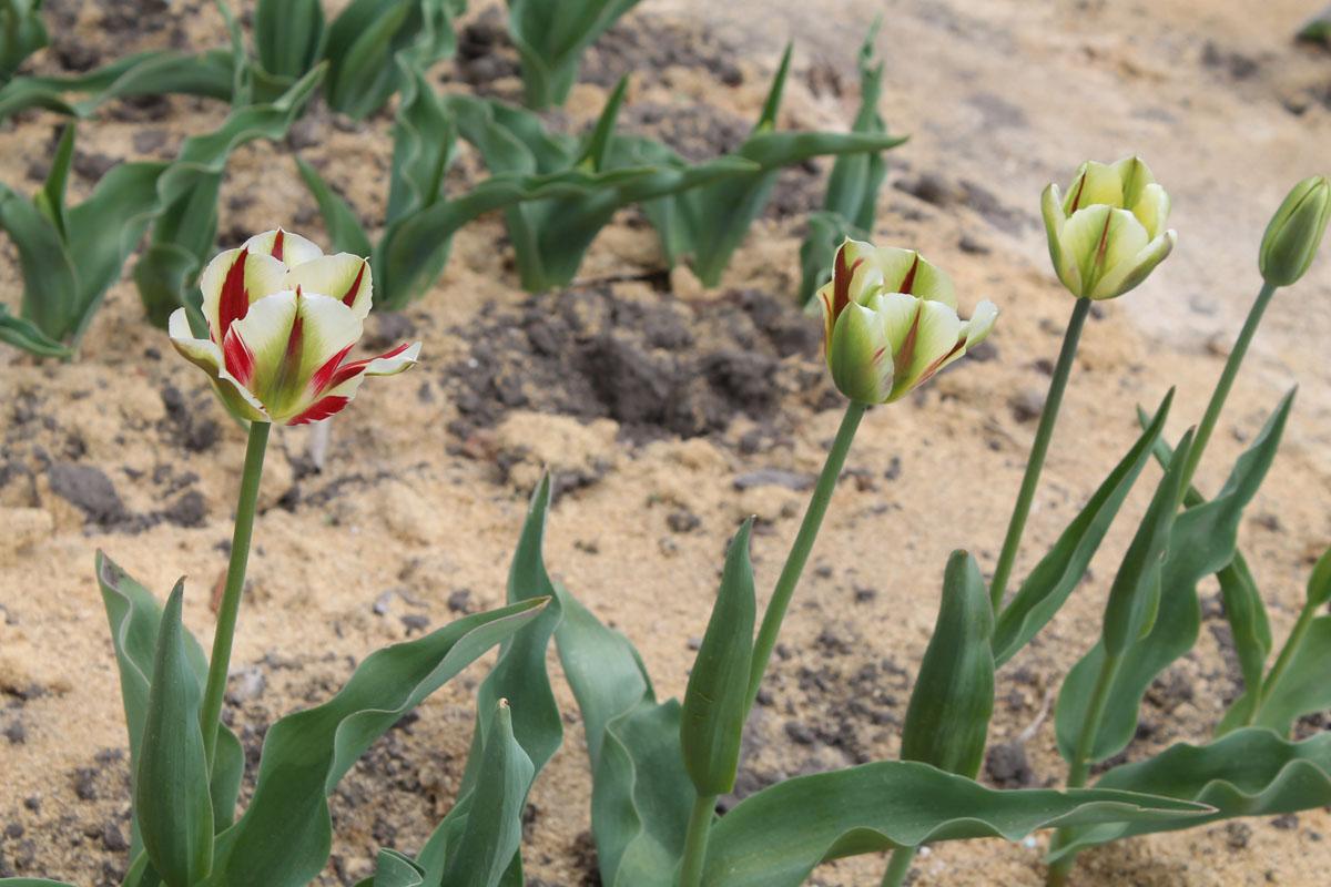 Тюльпаны сорта 'Flaming Springgreen' в коллекции Центрального ботанического сада НАН Беларуси; 10.V.2016