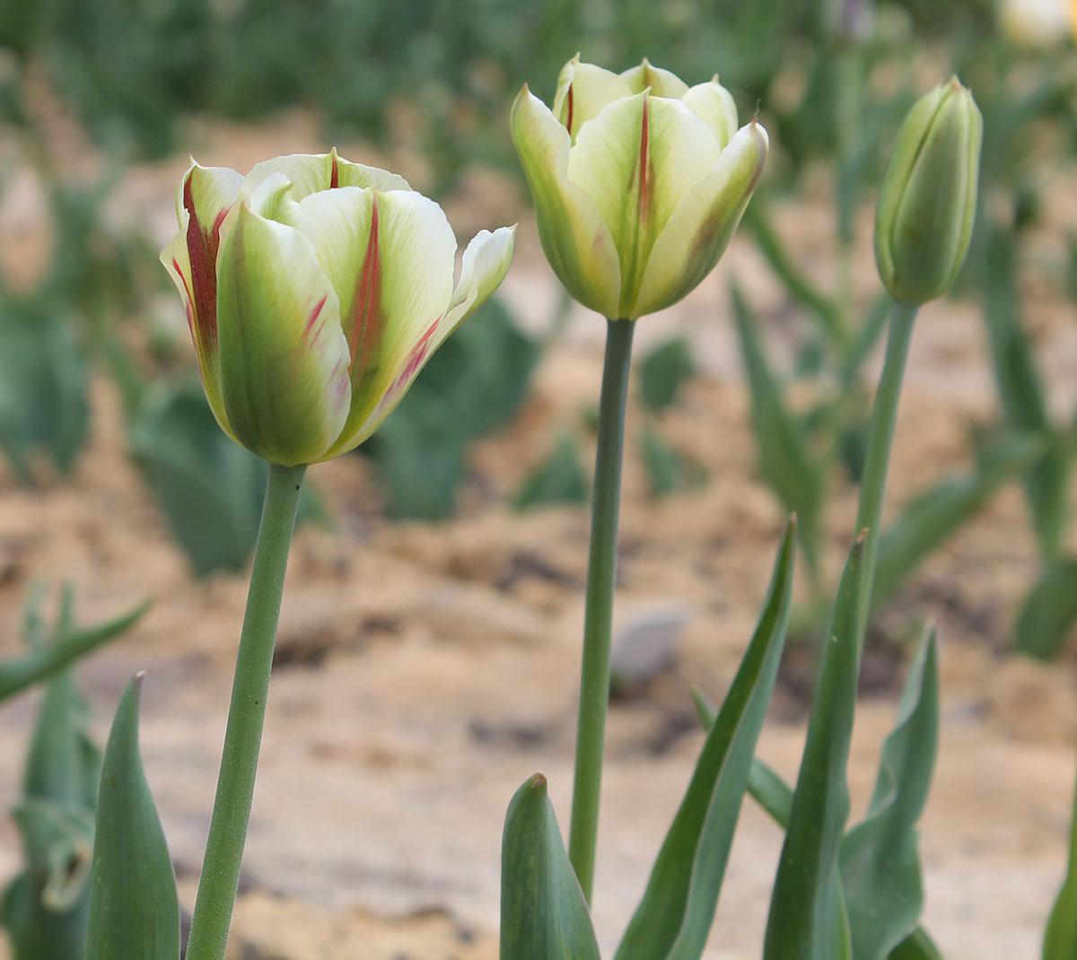 Тюльпаны 'Flaming Springgreen' в коллекции Центрального ботанического сада НАН Беларуси; 10.V.2016