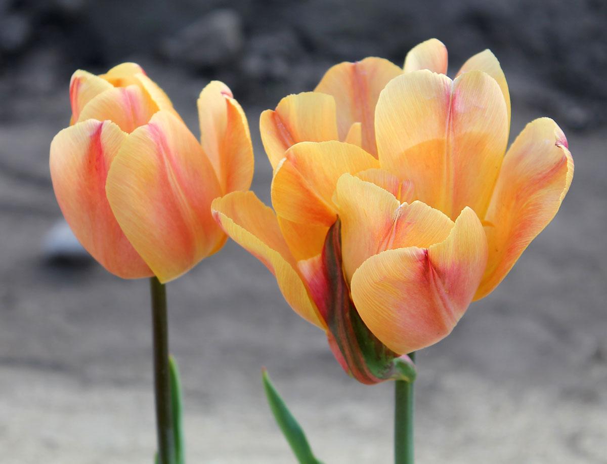 Тюльпаны 'Freeman'