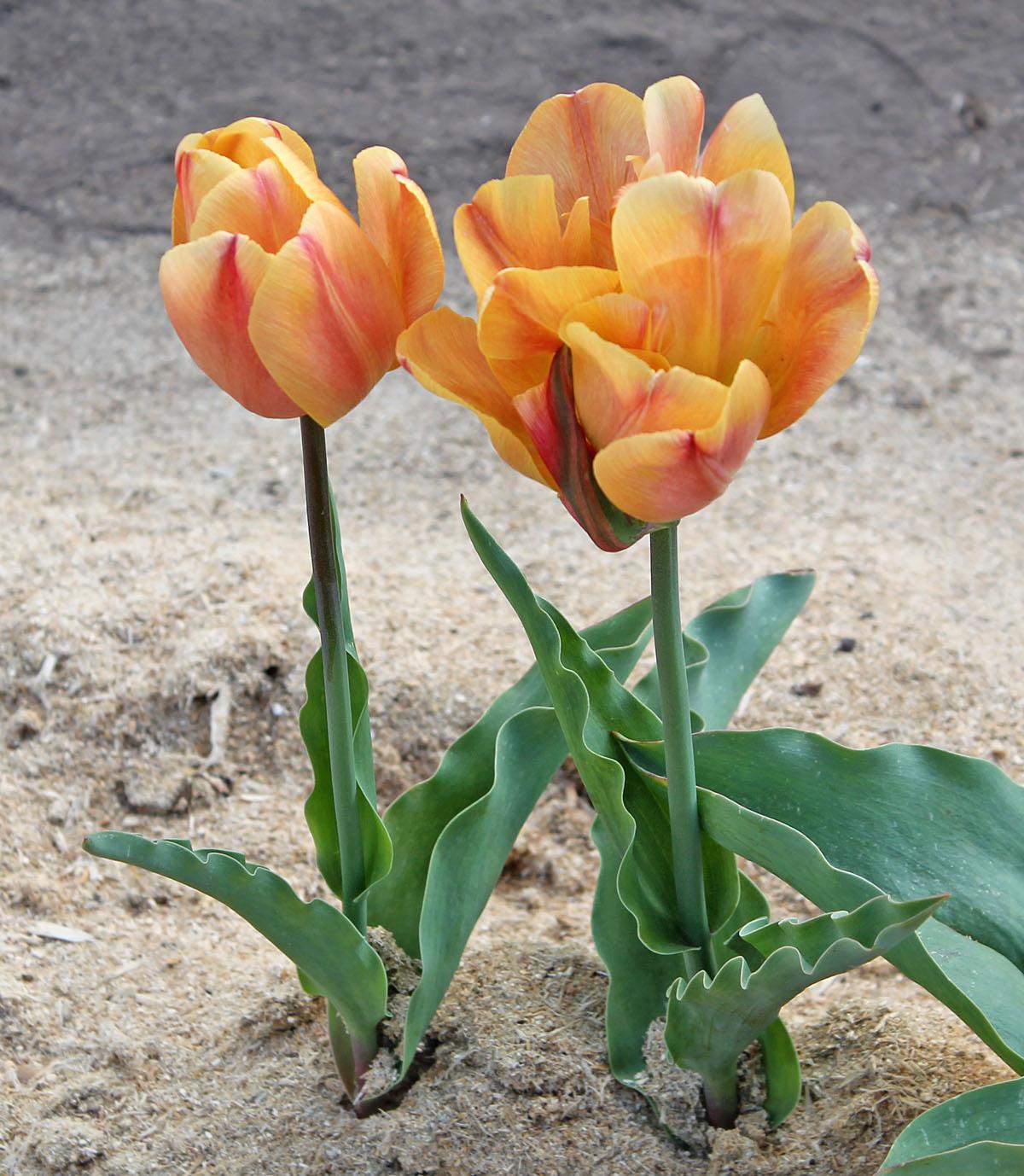 Тюльпаны 'Freeman'. Общий вид цветущих растений
