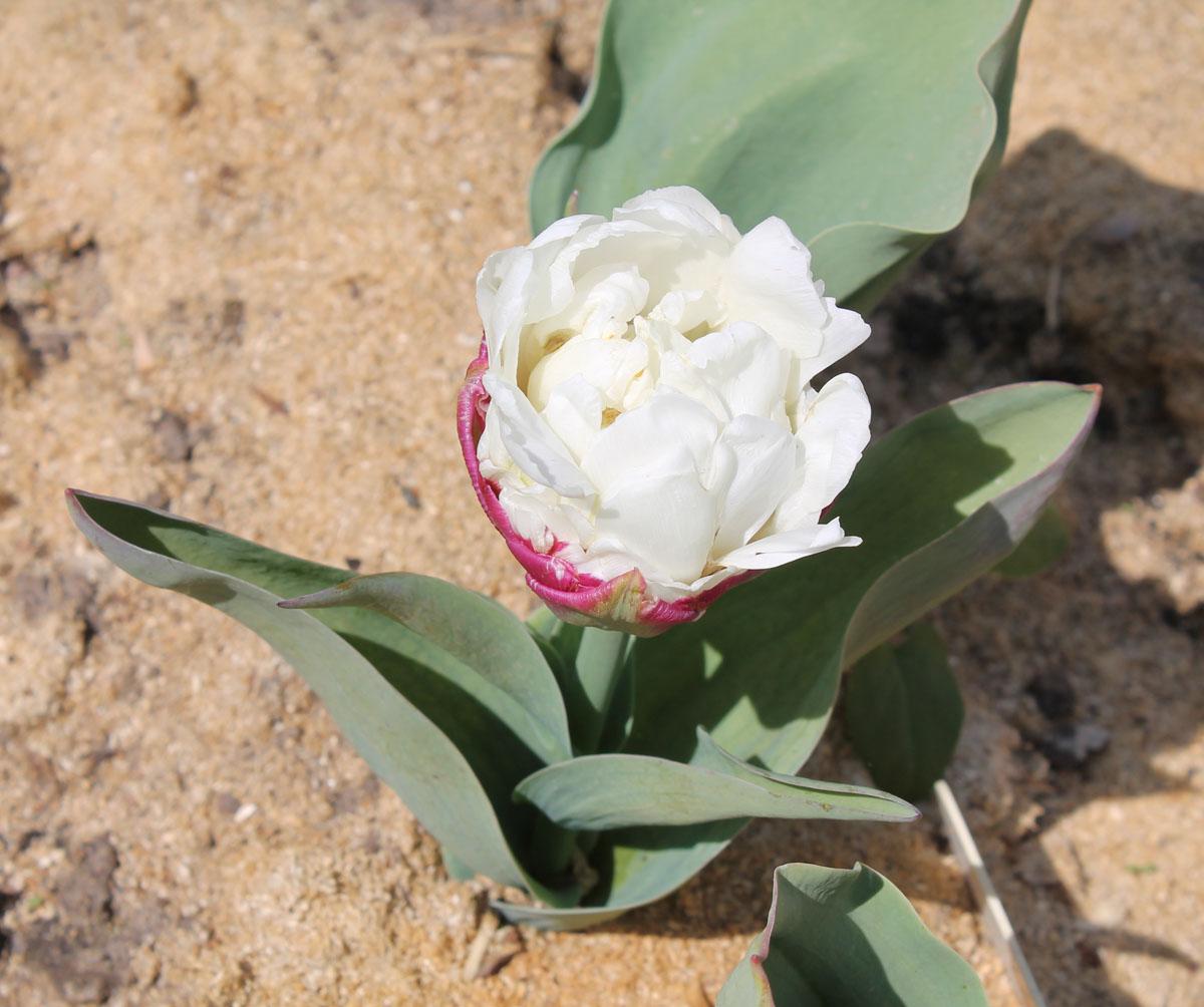 Тюльпаны 'Ice Cream'. Общий вид цветущего растения