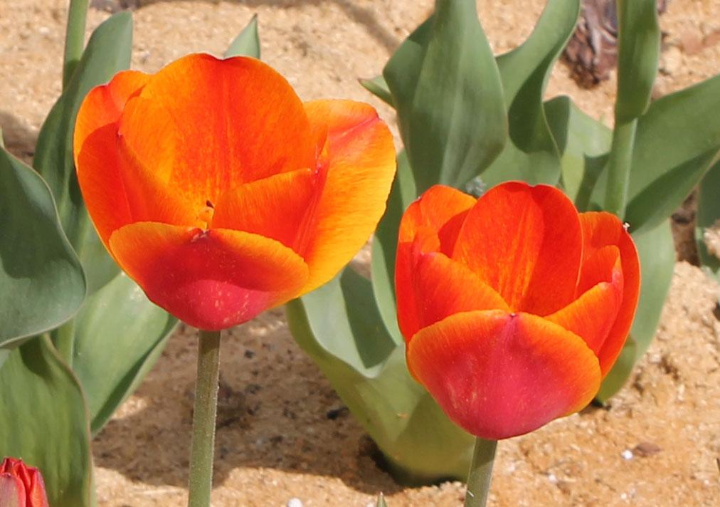 Тюльпаны 'Koningin Wilhelmina'