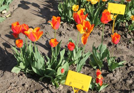 Тюльпаны сорта 'Koningin Wilhelmina'