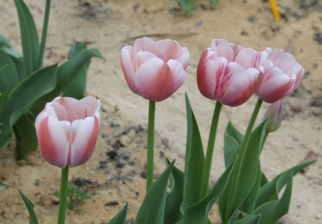 Тюльпаны 'Ollioules' (Олльюлес)