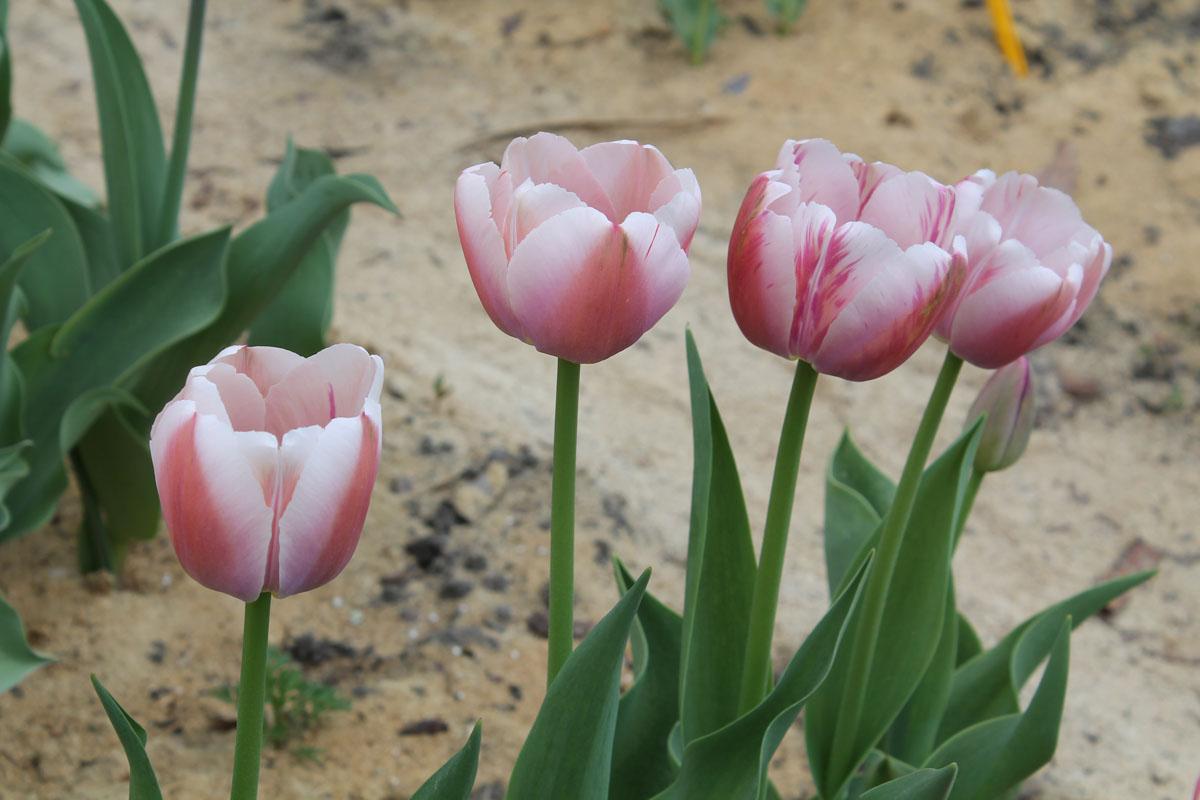 Тюльпаны 'Ollioules', пораженные вирусом пестролепестности. Сортовые признаки сохранены только у двух экземпляров слева, у которых пестролепестность ещё проявилась слабо.