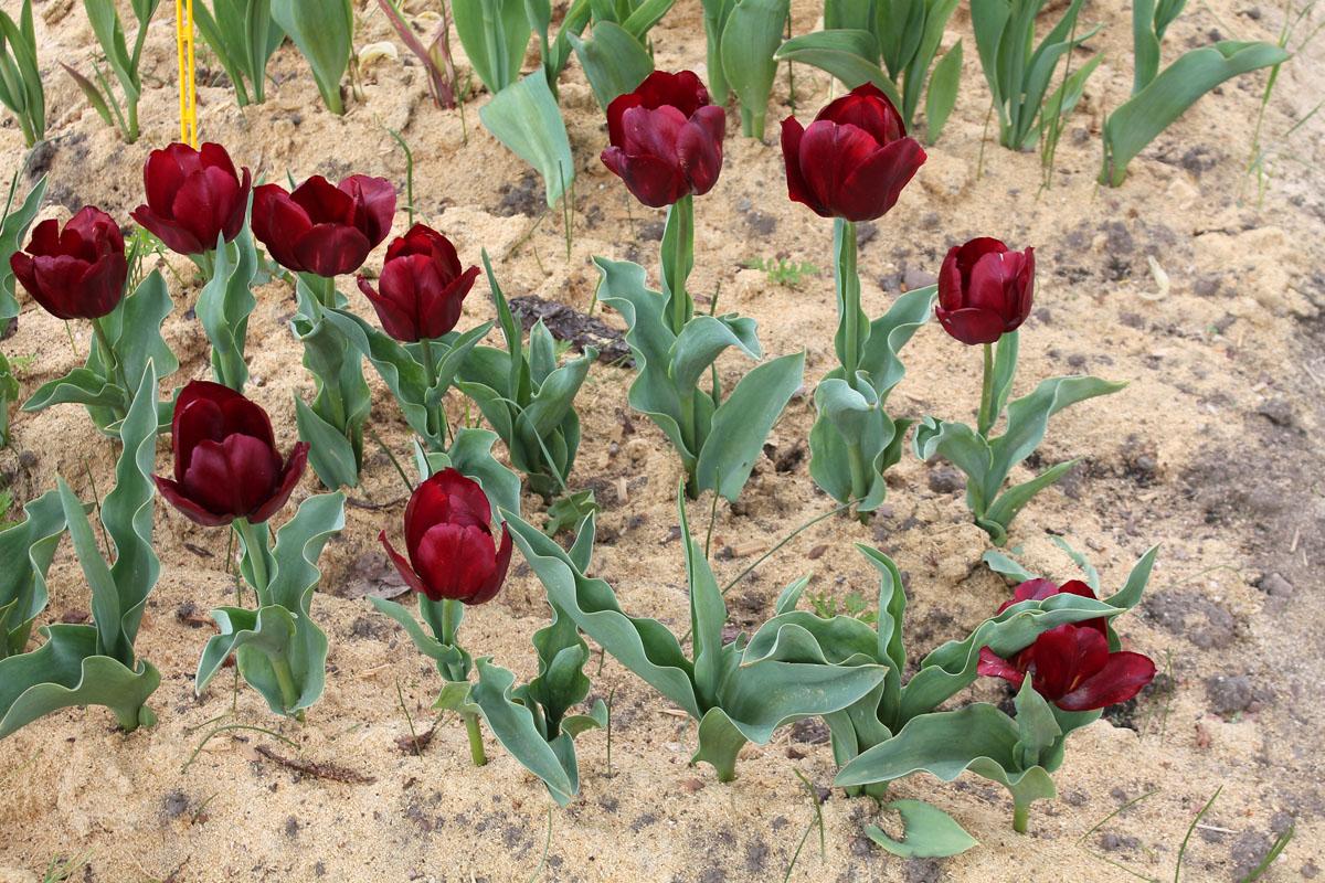 Тюльпаны 'Pallada'. Заметно поражение вирусом пестролепестности
