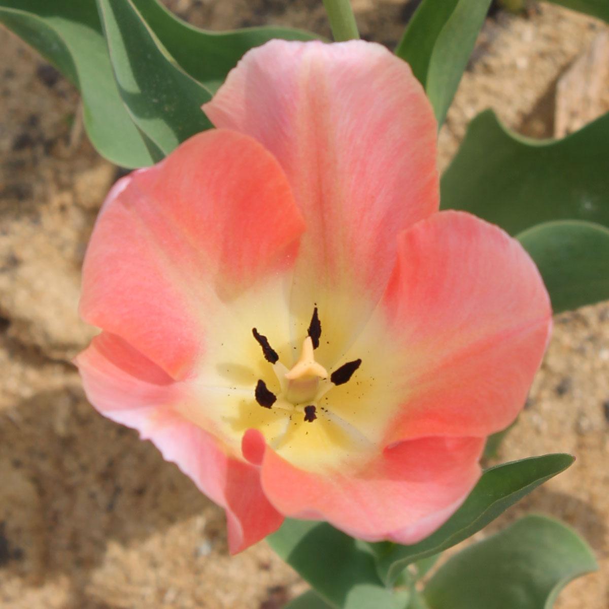 Тюльпан 'Rosy Wings' (Рози Уингс). Внутренняя сторона бокала