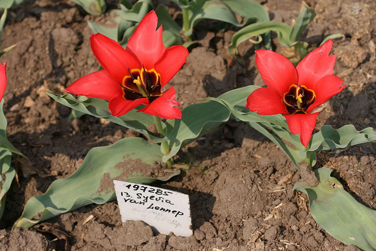 Тюльпаны 'Sylvia van Lennep'