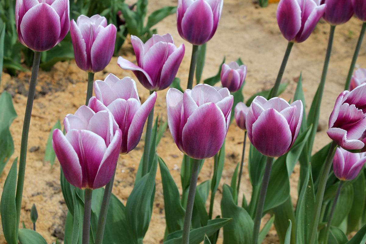 Тюльпаны 'Synaeda Blue'