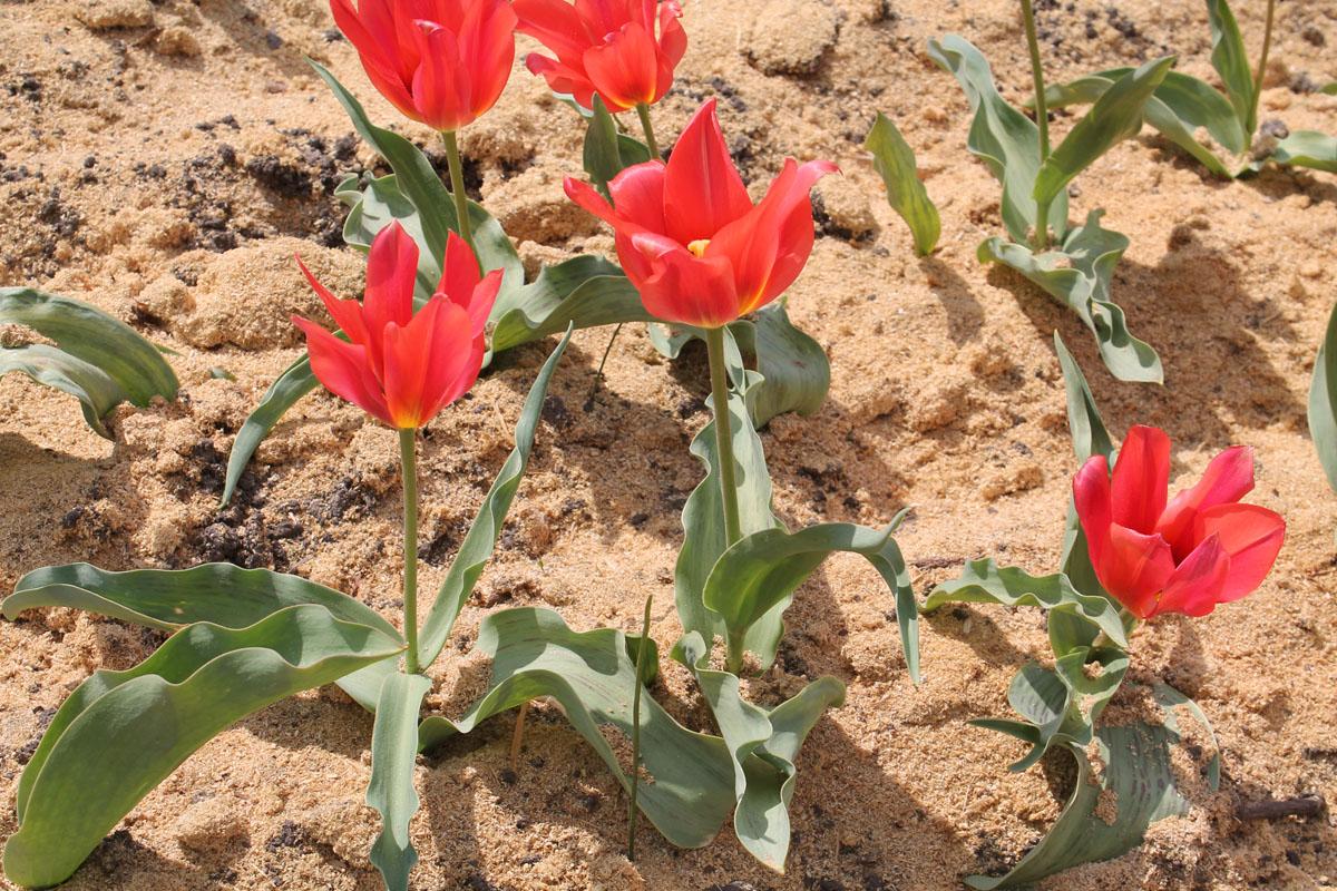 Тюльпаны 'Toronto'. Общий вид группы цветущих растений