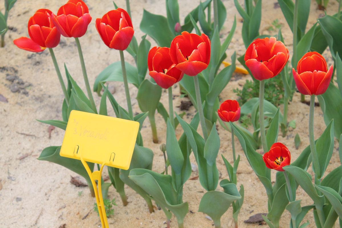 Тюльпаны 'Verandi'. Общий вид группы цветущих растений
