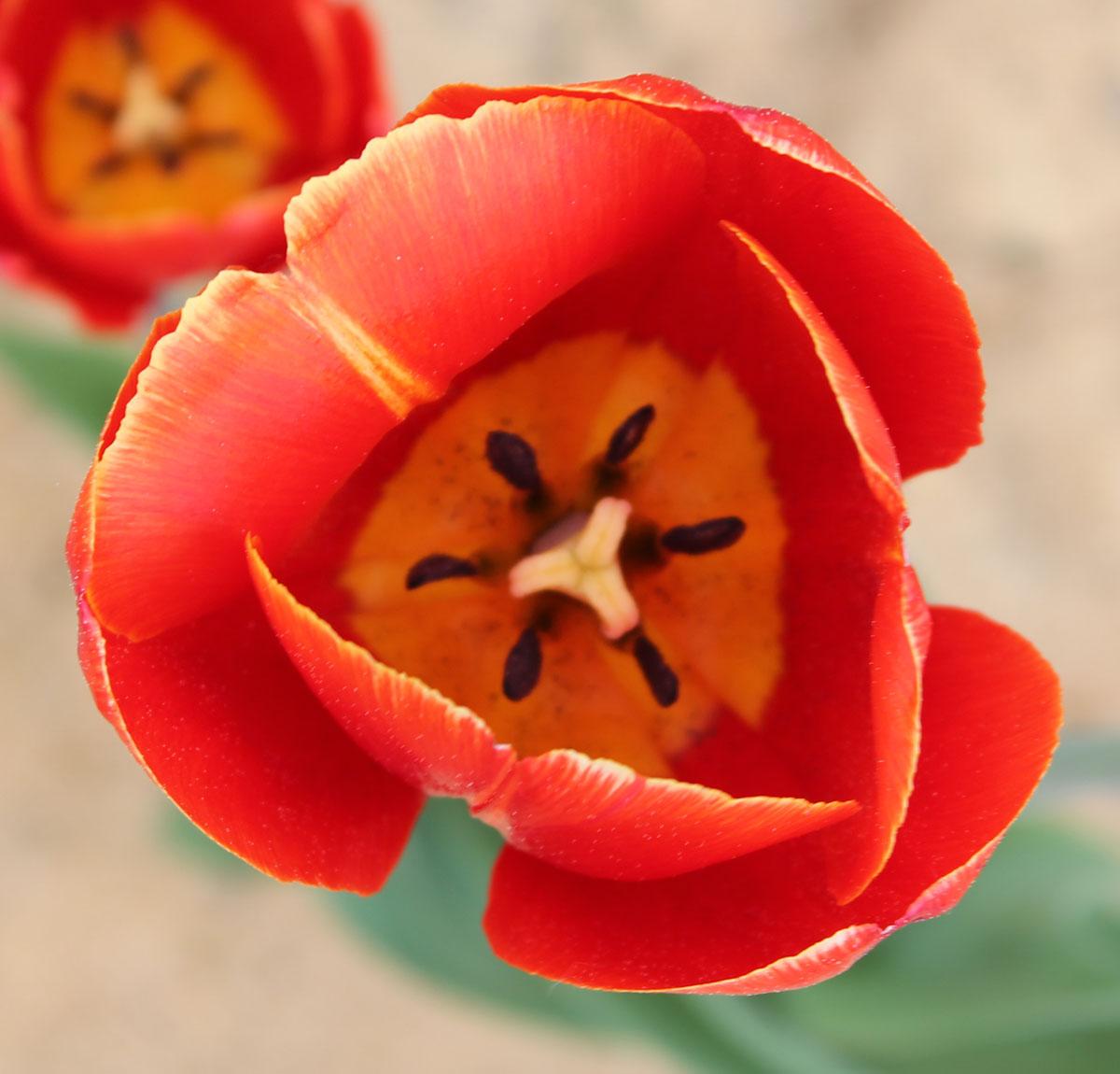 Тюльпан 'Verandi'. Внутренняя сторона бокала