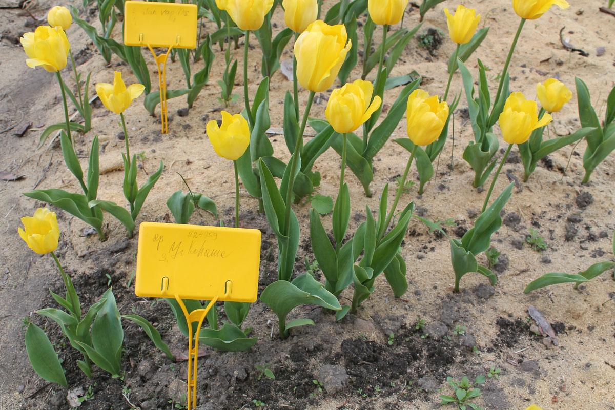 Тюльпаны сорта Yokohama