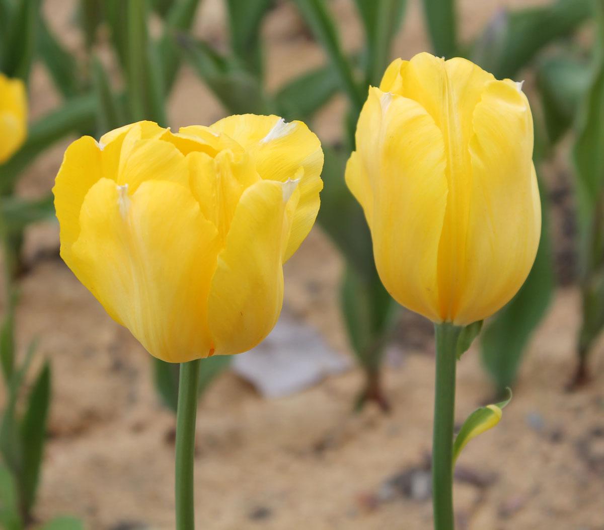 Тюльпаны сорта 'Yokohama'