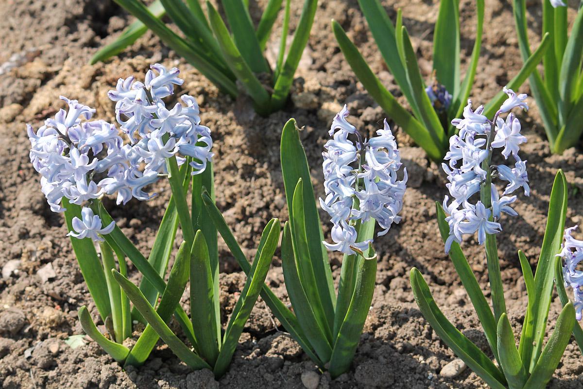 Гиацинт восточный сорт 'Grand Lilac' (Гранд Лилак). Общий вид цветущих растений